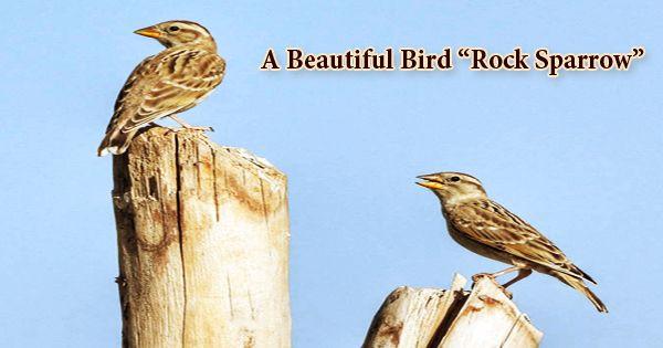"""A Beautiful Bird """"Rock Sparrow""""- Zoefact"""